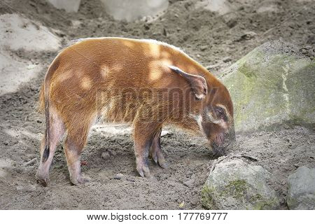 Red river hog (potamochoerus porcus) looking for food in its habitat