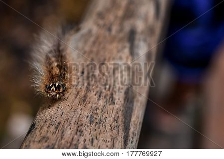 Hairy furry Gypsy Moth caterpillar walking a long wooden hand rail of a jungle walk way in South East Asia Close up with depth of field.