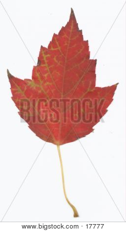 Another Red Maple Leaf