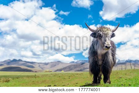 View on Yak in the grassland of China