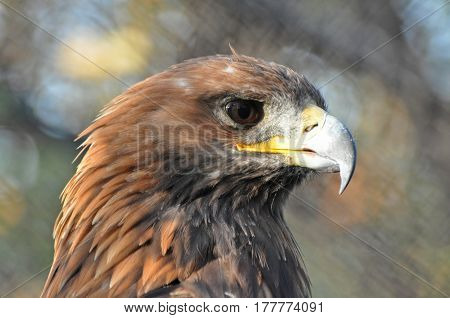Portrait of Golden Eagle (Aquila chrysaetos). Golden eagle close-up, mighty eagle
