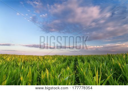 a corn field just after sunset / bright summer photo field of Ukraine