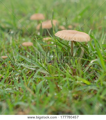 Tiny living mushrooms and raindrops in wet green grass after rainy weather