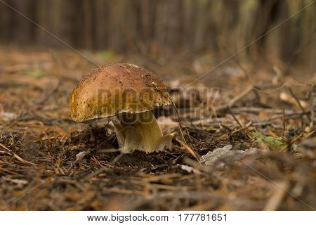 White mushroom in the forest in late autumn on a damp ground covered with pine needles