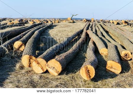 The felled trees lie on the ground. Large logs - peeled trunks from branches. Cleaning forests. Sunny day.