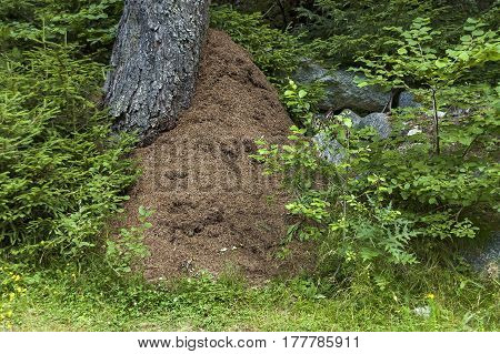 Forest with mixed trees and anthill or formicary in Rila mountain, Bulgaria