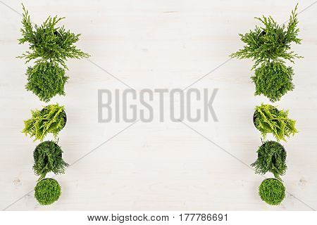 Minimalistic decorative border of green conifer plants in pots top view on white wooden board background. Blank copy space.