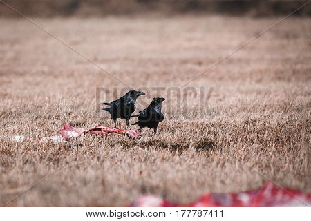 Black Crows Eating Carrion