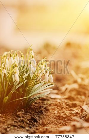 Little white snowdrops flowers blooming in sunny day springtime background with copy space. Shallow depth of field
