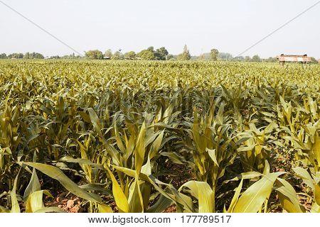 cornfield farm agriculture yellow color farming field