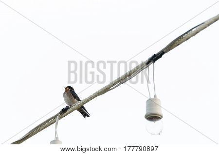 Lonely bird sitting on electric wire Isolated on white background