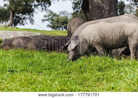 Iberian pig herd pasturing in a green meadow.