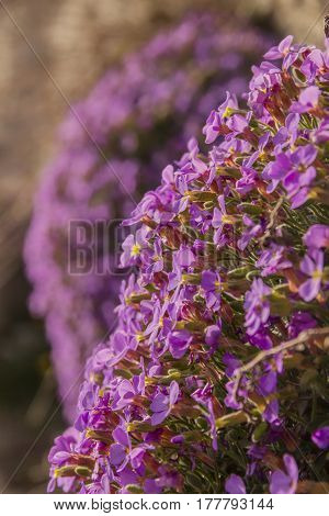 Apulian spring: Aubrieta columnae (or Aubrezia di Colonna) is flower endemic of Gargano promontory. It is tipical wildflower of Monte Sant'Angelo (Apulia), present only spontaneously in Italy.