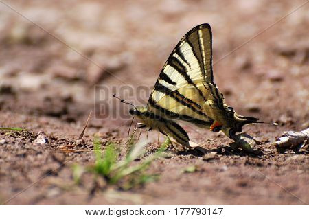 Iphiclides podalirius on the ground. Scarce Swallowtail butterfly taking minerals from ground