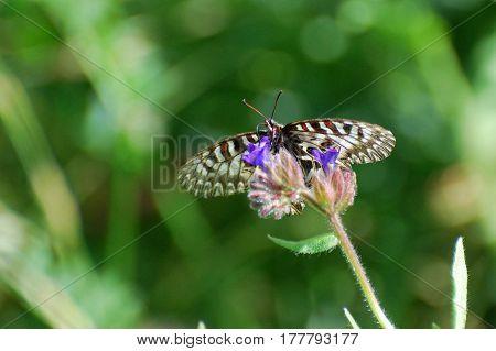 Butterfly on spring meadow. Zerynthia polyxena, Southern Festoon or Spanish Festoon,