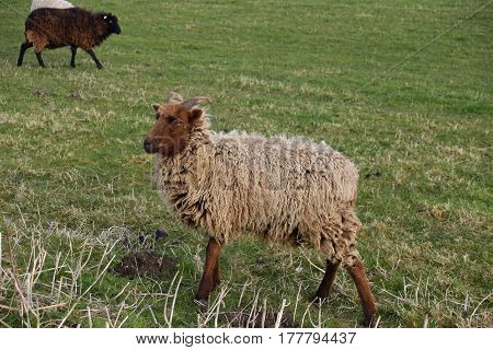 Brown Sheep With Horns