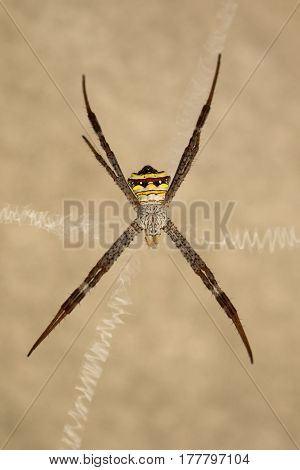 Image of spider on a brown background. Insect Animals.