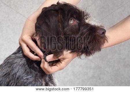 woman hands putting on collar on the dog