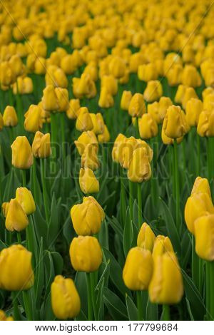 Bright tulips in a soft focus, spring flowers close-up in the garden. Bright yellow tulip flowers