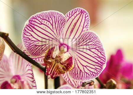 Bud Beautiful Flower Room Striped Orchid