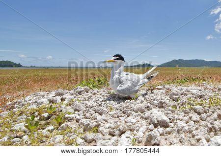 Little tern Sternula albifrons Birds of Thailand