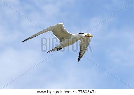 Common Tern Sterna hirundo Flying in the Sky