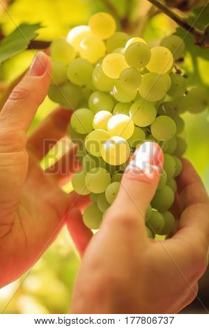 Fresh grapes on hands (close up shot)