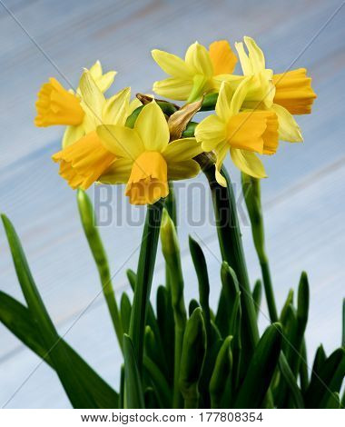 Bunch of Wild Yellow Daffodils with Green Leafs closeup on Blurred Blue background. Focus on Daffodils