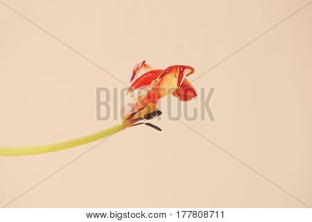 Old red tulip bloomed on a smooth background