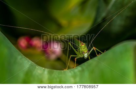 katydid with purple eyes and long antennae on milkweed green leaf