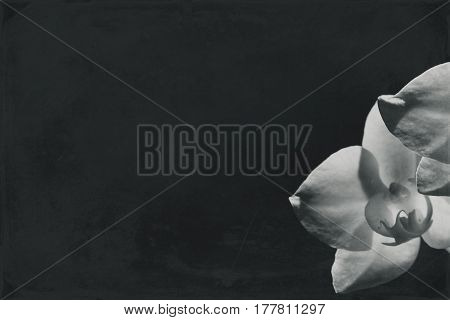 White orchid illuminated by the sun on a black background