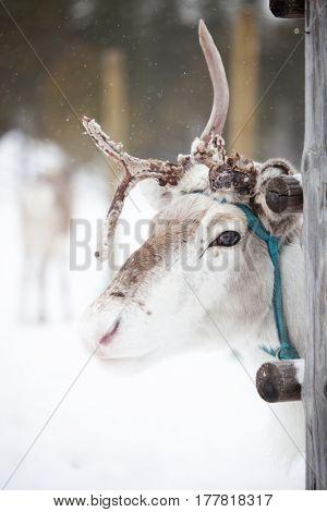 Reindeer outside in reindeer park
