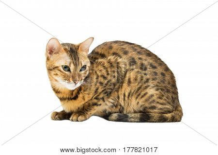 Cat Bengal breed leopard coloring sits isolated on white