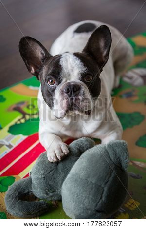 French bulldog lying on the floor with mascot
