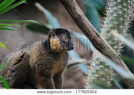Fantastic close up look at a collared lemur with sweet brown eyes.