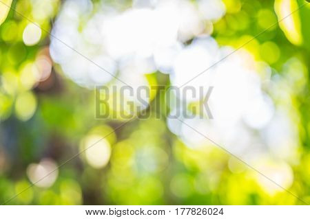 The Bodhi leaf Bokeh image  in forest
