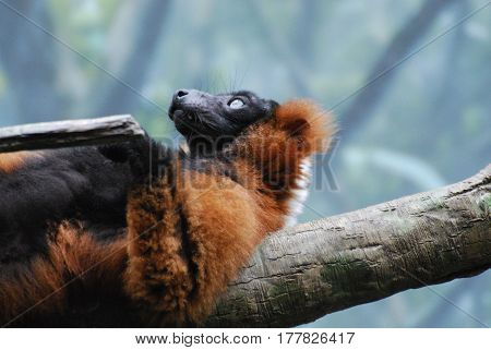 Adorable red ruffed lemur laying on a fallen log on his back.