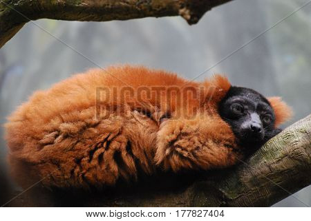 Resting red ruffed lemur curled up in a tree.