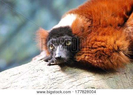Adorable face of a red ruffed lemur on a fallen log.