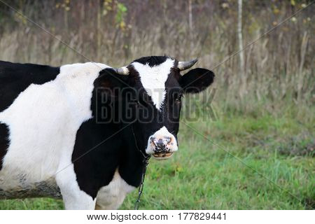 A cow on pasture looking in the camera.