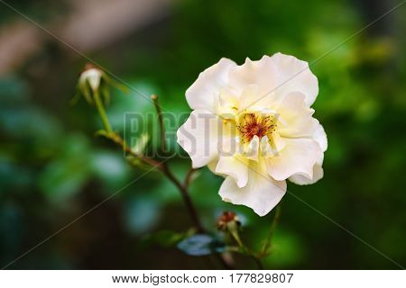 White rose flower on a blurred background of green foliage. Shallow depth of field. Selective focus.