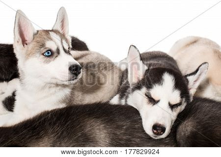 group of happy siberian husky puppies on white. Beautiful puppies