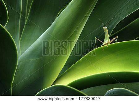 Green praying mantis sitting on a cactus plant