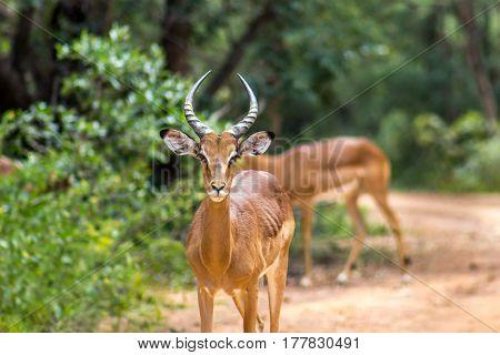 Closeup photo of impala looking at the camera