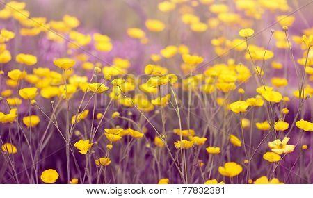 Meadow Buttercup Flowers