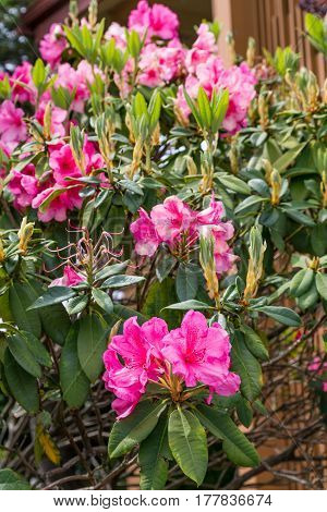 A Pink Rhododendrons in a spring garden
