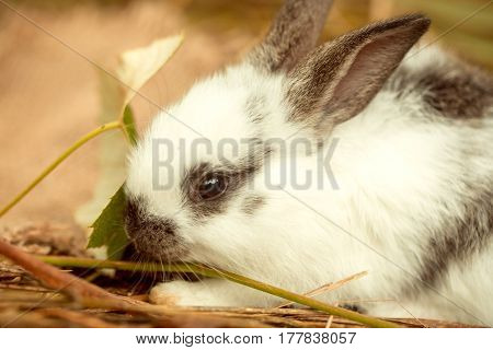 Cute rabbit small easter bunny domestic pet with long ears and fluffy fur coat eating green leaf in natural hay on blurred background