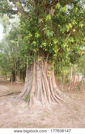 Bodhi tree, Ficus religiosa L., Big tree, Old tree conceptual of life Buddhism