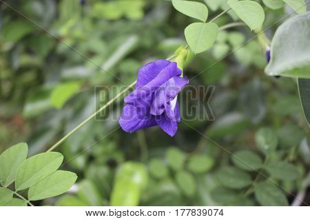 It is grown as an ornamental plant and as a revegetation species (e.g. in coal mines in Australia) requiring little care when cultivated. As a legume its roots form a symbiotic association with soil bacteria known as rhizobia which transform atmospheric N