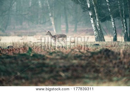Fallow Deer Doe Standing In Misty Field.